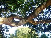 Milkwood tree knot