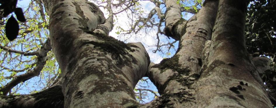 gnarled-old-whitestink-wood