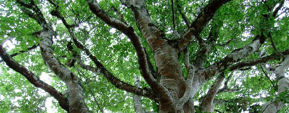 Platbos white stinkwoods