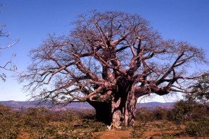 image of baobab tree